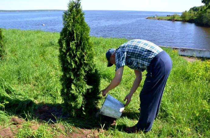 как пересадить взрослое дерево туи