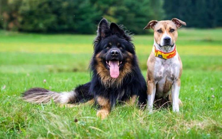 как подружить взрослых собак