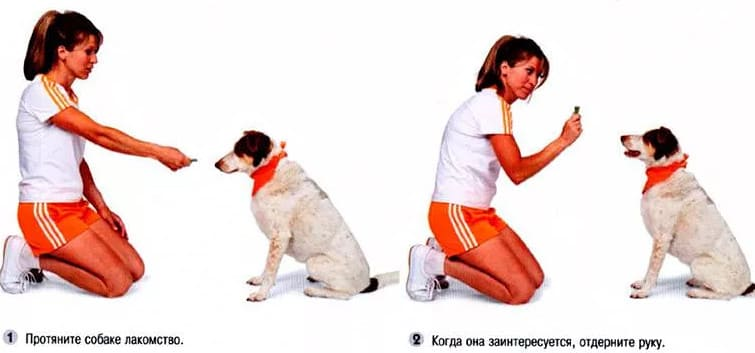 как быстро обучить собаку командам